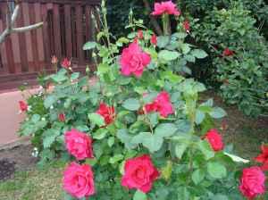 cu roses